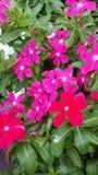 Flores do Vinca Imagem de Stock Royalty Free