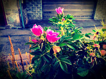 Flores do vintage Imagens de Stock