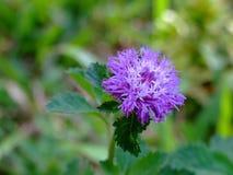 Flores do Wayside Fotos de Stock Royalty Free