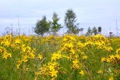 Flores do wort de St John Fotografia de Stock