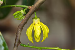 Flores do Ylang-Ylang Fotografia de Stock Royalty Free