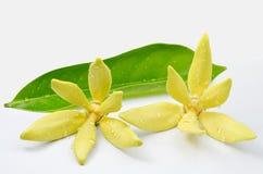 Flores do Ylang-Ylang Imagens de Stock
