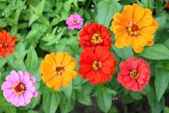 Flores do Zinnia Foto de Stock Royalty Free