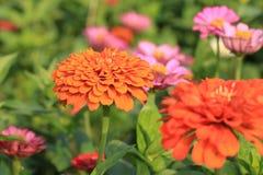 Flores do Zinnia Imagens de Stock