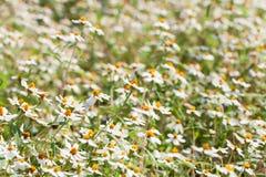 Flores do zinnia branco Foto de Stock Royalty Free