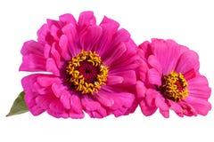 Flores do zinnia cor-de-rosa no fundo branco Foto de Stock Royalty Free