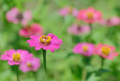 Flores do Zinnia no jardim Foto de Stock Royalty Free