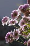 Flores dobles rosadas del placer del Echinacea Imagen de archivo libre de regalías