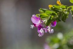 Flores doces de Pea Shrub sob a luz do inverno com bokeh agradável fotografia de stock