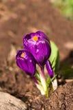 Flores dos açafrões Foto de Stock