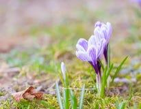 Flores dos açafrões Fotografia de Stock