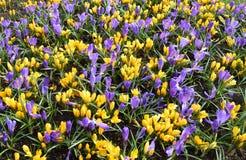 Flores dos açafrões Foto de Stock Royalty Free