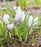 Flores dos açafrões após a chuva Fotos de Stock Royalty Free