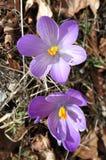 Flores dos açafrões da mola Imagens de Stock Royalty Free
