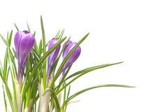 Flores dos açafrões isoladas no branco Fotos de Stock