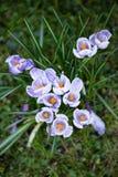 Flores dos açafrões Um grupo de açafrões na grama Fotos de Stock Royalty Free