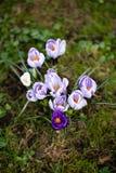 Flores dos açafrões Um grupo de açafrões na grama Imagem de Stock Royalty Free