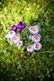 Flores dos açafrões Um grupo de açafrões na grama Fotografia de Stock