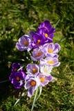 Flores dos açafrões Um grupo de açafrões na grama Imagem de Stock