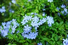 Flores dos azul-céu Fotografia de Stock