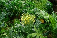 Flores dos brócolis Imagens de Stock Royalty Free