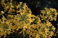 Flores dos brócolis Fotos de Stock