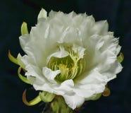 Flores dos cactos Fotos de Stock