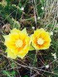Flores dos cactos Fotografia de Stock Royalty Free