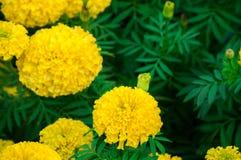 Flores dos cravos-de-defunto no jardim Imagem de Stock