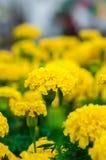 Flores dos cravos-de-defunto no jardim Fotografia de Stock