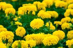 Flores dos cravos-de-defunto no jardim Imagens de Stock
