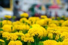 Flores dos cravos-de-defunto no jardim Fotografia de Stock Royalty Free