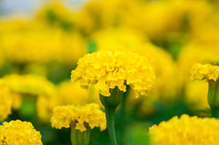 Flores dos cravos-de-defunto no jardim Imagens de Stock Royalty Free