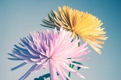 Flores dos crisântemos Foto de Stock Royalty Free