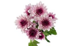 Flores dos crisântemos Imagem de Stock Royalty Free