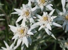 Flores dos edelvais Imagens de Stock