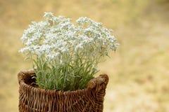 Flores dos edelvais em uma cesta tecida fora Fotografia de Stock