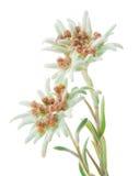 Flores dos edelvais isoladas sobre o branco Fotos de Stock Royalty Free