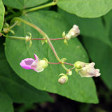 Flores dos feijões. Fotos de Stock