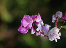 Flores dos feijões vermelhos no orvalho Fotografia de Stock