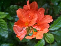 Flores dos infundibuliformis de Crossandra imagem de stock