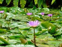 Flores dos lírios de água Imagens de Stock Royalty Free
