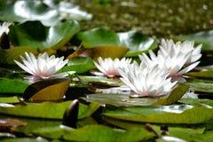 Flores dos lírios de água branca Imagens de Stock