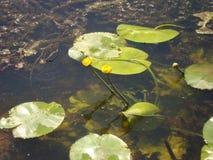 Flores dos lírios de água no rio Fotos de Stock