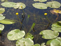 Flores dos lírios de água no rio Imagens de Stock