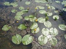 Flores dos lírios de água no rio Fotografia de Stock Royalty Free