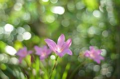 Flores dos lírios de Pinky Rain Imagens de Stock Royalty Free