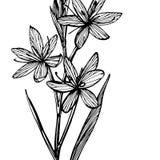 Flores dos lírios do Kafir Cole??o de flores e de plantas tiradas m?o botany jogo Flores do vintage Rebecca 36 ilustração do vetor