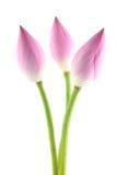 Flores dos lótus Fotos de Stock Royalty Free
