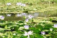 Flores dos lótus na lagoa Fotos de Stock Royalty Free